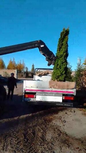 Перевозка деревьев или как правильно перевезти дерево